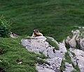 Marmotte au cirque de Troumouse.jpg