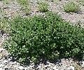 Marrubium vulgare 5.jpg