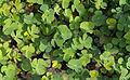 Marsilea quadrifolia - Jardin des Plantes.jpg