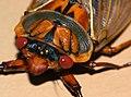 Masked Devil Cicada (5079731277).jpg