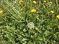 Maslačak u travi - panoramio.jpg