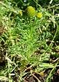 Matricaria discoidea flower (02).jpg
