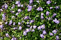 Mazus flowers closeup 8501.JPG