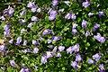 Mazus flowers closeup 8501.JPG