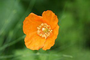 Meconopsis cambrica - Orange Welsh Poppy