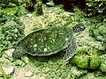 Meeresschildkröte.jpg