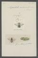 Megachile - Print - Iconographia Zoologica - Special Collections University of Amsterdam - UBAINV0274 045 07 0002.tif
