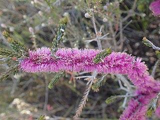 <i>Melaleuca suberosa</i> species of plant