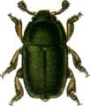 Meligethes aeneus Jacobson.png