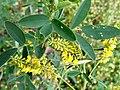 Melilotus indicus flower (05).jpg