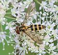 Meliscaeva cinctella (female) - Flickr - S. Rae (1).jpg