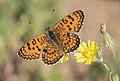 Melitaea collina - Hataylı İparhan 13.jpg