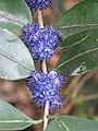 Memecylon umbellatum flowers at Peravoor (5).jpg