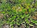 Menyanthes trifoliata kz08.jpg