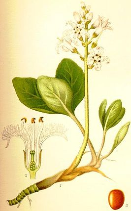 Waterdrieblad (Menyanthes trifoliata)