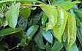 Meteoromyrtus wynaadensis 10.JPG