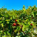 Miami Beach - Sand Dunes Flora -Vine with Red Fruit 02.jpg