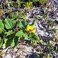 Miami Beach - Sand Dunes Flora - Dune Sunflower.jpg