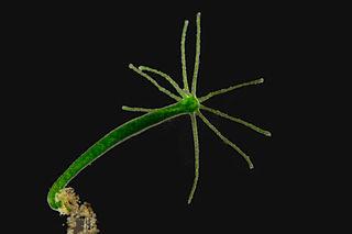 Nezmar zelený má ramená kratšie ako telo, zelené sfarbenie spôsobujú riasy, ktoré s nim žijú v symbióze