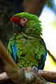 Military Macaw (2142278345).jpg