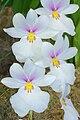 Miltoniopsis vexillaria.jpg