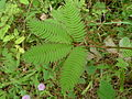 Mimosa pudica leaves (5731553284).jpg