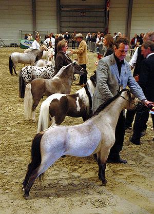 Miniature horse - Miniature horses at a horse show.