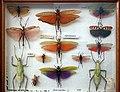 Missiemuseum Steyl-Tegelen, vlinders & geleedpotigen 05.jpg