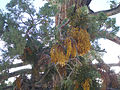 Mistletoe San Bernardino Mountains.jpg