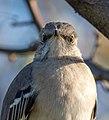 Mockingbird (42364).jpg