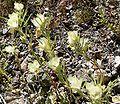 Mohavea confertiflora group.jpg