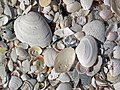 Mollusc shells on marine beach (Cayo Costa Island, Florida, USA) 6 (23959801659).jpg