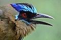 Momotus momota -Los Amigos Conservation Concession, Madre de Dios, Peru -head-8.jpg