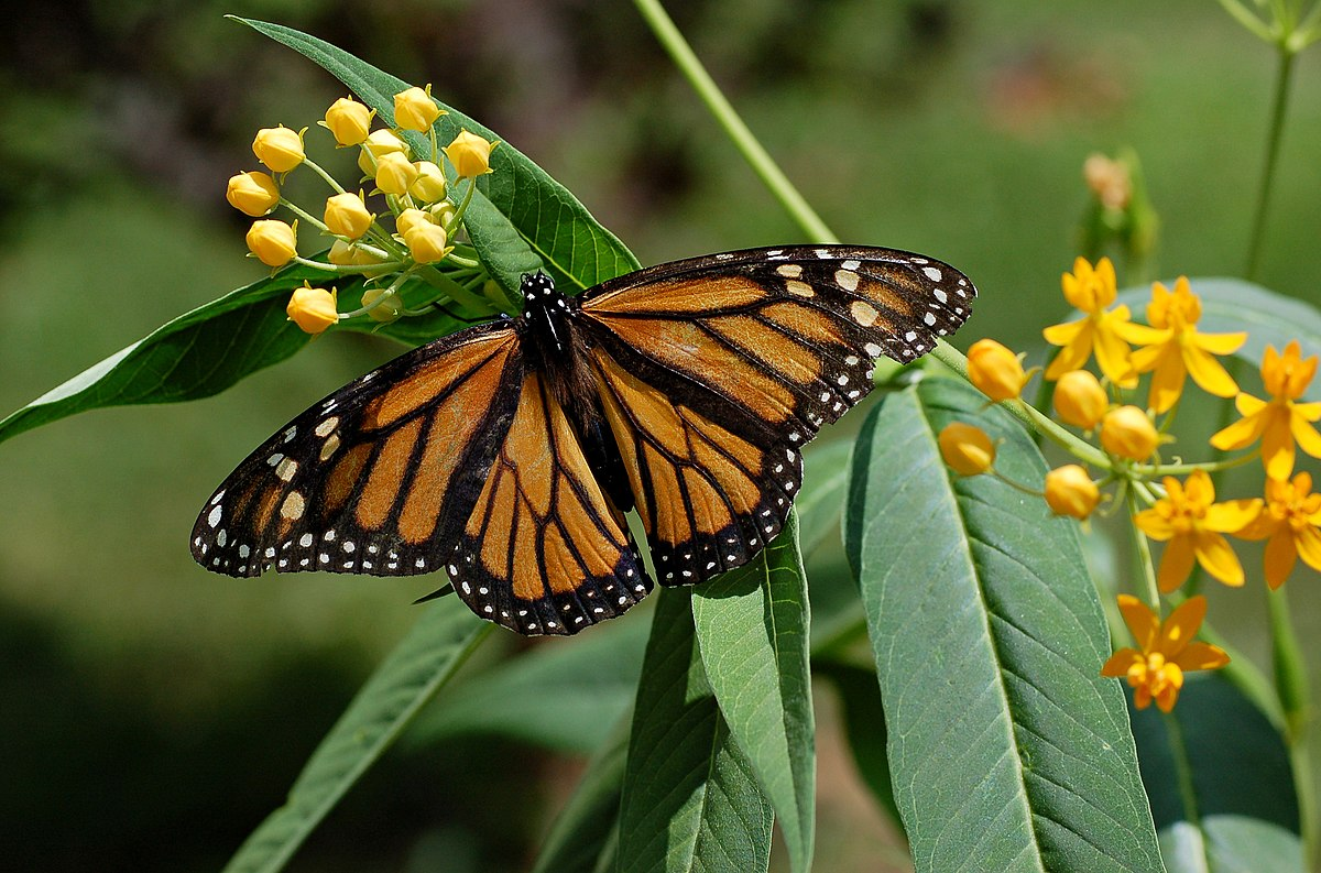Monarch (butterfly) - Simple English Wikipedia, the free ...