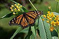 Monarch Butterfly Danaus plexippus on Milkweed Hybrid 2800px.jpg