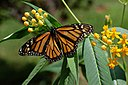 Monarch Butterfly Danaus plexippus on Milkweed Hybrid 2800px