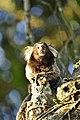 Monkey, Morro da Urca (7170490215).jpg