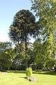 Monkey Puzzle Tree - geograph.org.uk - 1477733.jpg