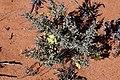 Monsonia spinosa (Geraniaceae) (37241743180).jpg