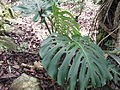 Monstera deliciosa-BSI-yercaud-salem-India.JPG