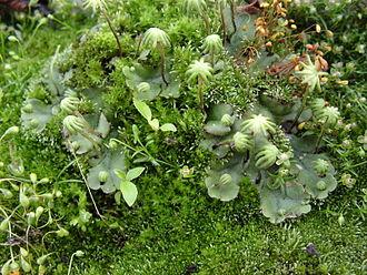 Marchantia polymorpha - Image: Moos 5772