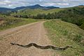 Morelia spilota spilota (Diamond python) crossing a road in the Upper Paterson Valley, NSW.jpg