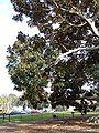 Moreton Bay Fig, Balboa Park, SD 3.JPG