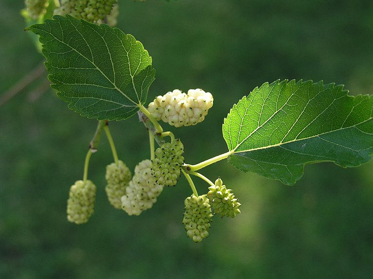 feuilles et fruits du murier blanc