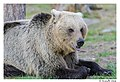 Mother bear (14134457678).jpg