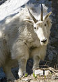 Mountain goat myatt (5489810336).jpg