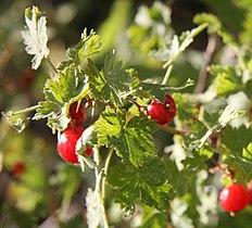 Ribes Montigenum Wikipedia