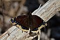 Mourning Cloak (Nymphalis antiopa) - London, Ontario 03.jpg