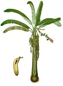 Bananas And Plantains Musa Aab Group Ncbi Taxonomy Details