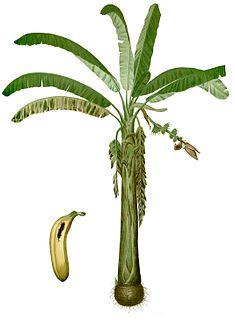 Lakatan banana Banana cultivar